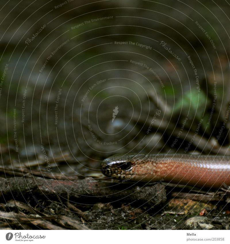 Schmidtchen Schleicher Tier Wildtier Tiergesicht Blindschleiche 1 dunkel glänzend natürlich braun Natur Umwelt schleichen Waldboden Boden Farbfoto