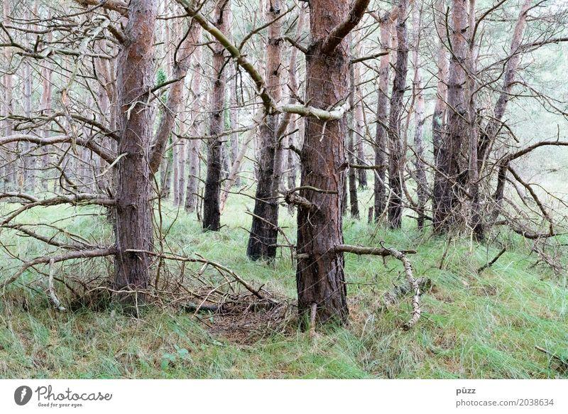 Kiefern Umwelt Natur Landschaft Tier Erde Klima schlechtes Wetter Pflanze Baum Gras Grünpflanze Wald Urwald alt bedrohlich dunkel gruselig natürlich trist
