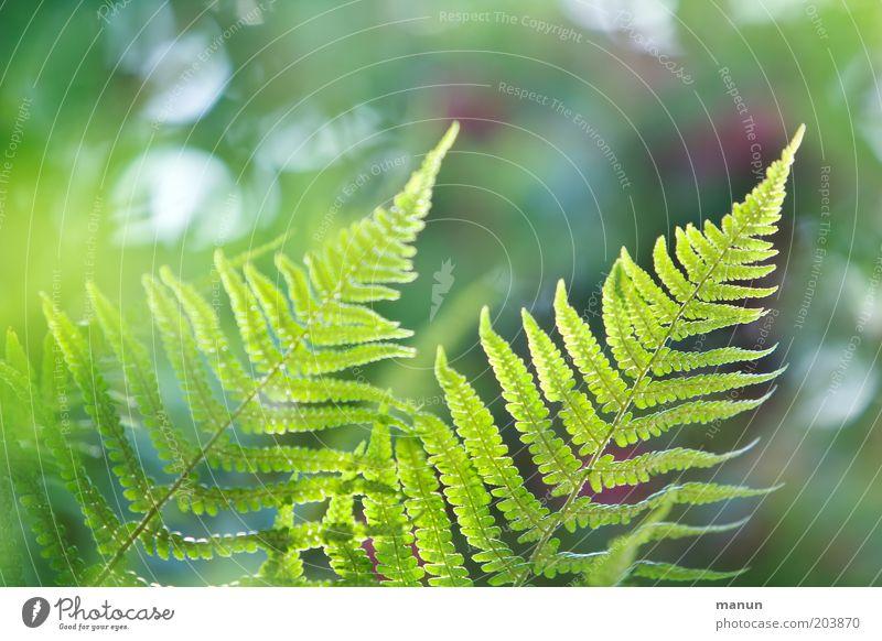 Farnflimmern Natur Frühling Sommer Pflanze Sträucher Grünpflanze ästhetisch hell schön Umweltschutz Farbfoto Nahaufnahme Strukturen & Formen Textfreiraum oben