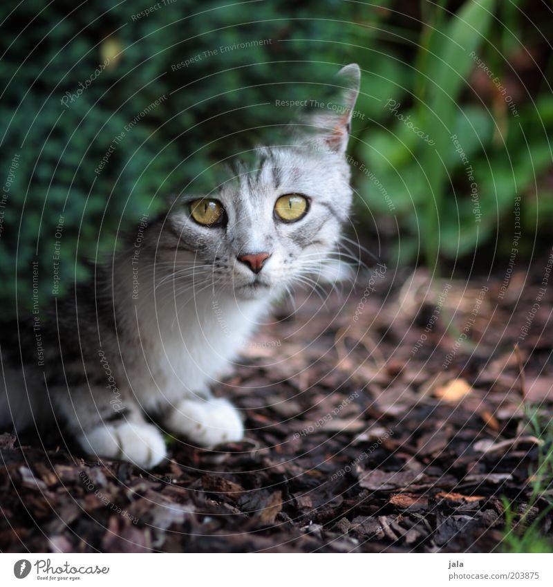 ängstlich Pflanze Garten Tier Katze Tiergesicht 1 Schutz Angst Schüchternheit Farbfoto Außenaufnahme Menschenleer Tag Auge Boden hocken Hecke unsicher grau
