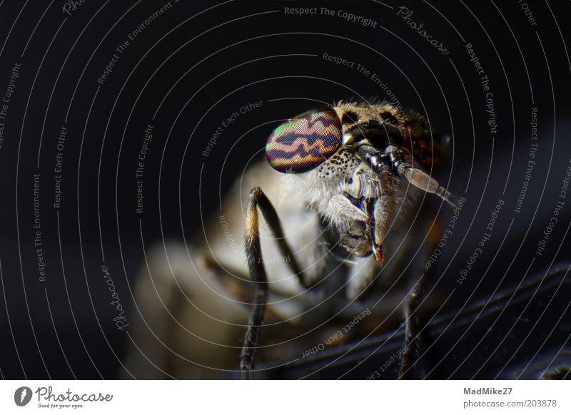 Bremse (Tabanidae) schön Tier dunkel warten glänzend klein Fliege schlafen sitzen nah Tiergesicht bedrohlich liegen beobachten natürlich Neugier