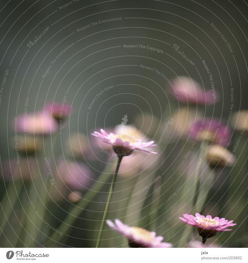 flora Natur Sommer Pflanze Blume grün rosa Farbfoto Außenaufnahme Menschenleer Textfreiraum oben Tag Starke Tiefenschärfe Blüte Blühend Blumenwiese