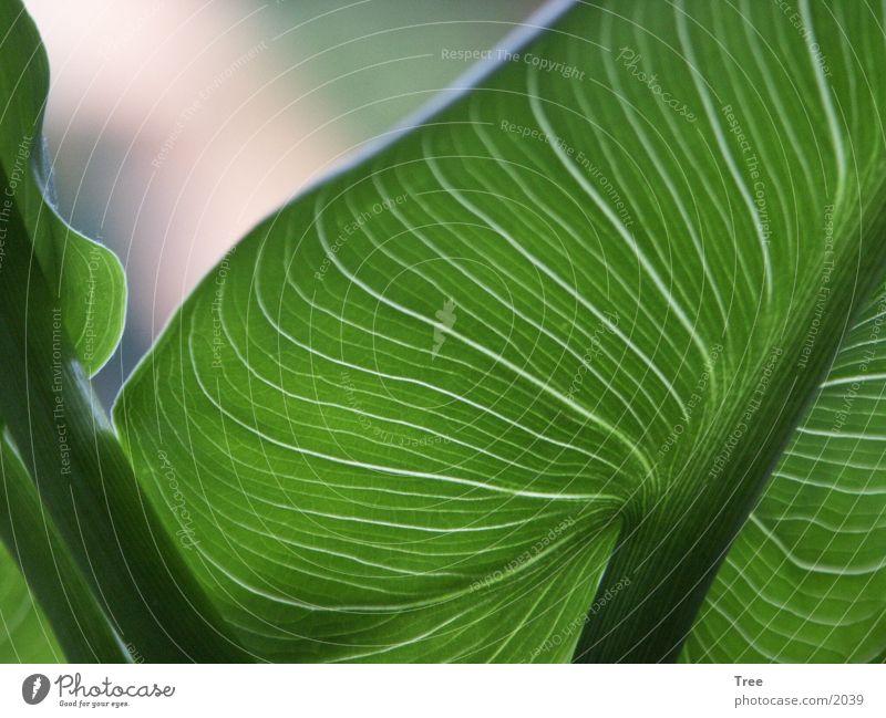 Leaf Blatt Licht Makroaufnahme