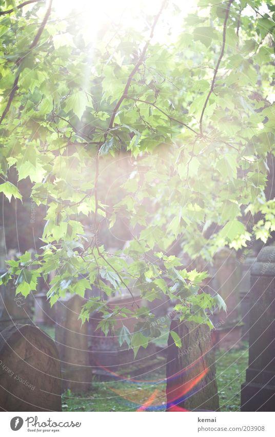 Leuchten Umwelt Natur Pflanze Sonne Sonnenlicht Sommer Klima Schönes Wetter Wärme Baum Blatt Grünpflanze Wildpflanze Ast Zweig Garten Park Friedhof
