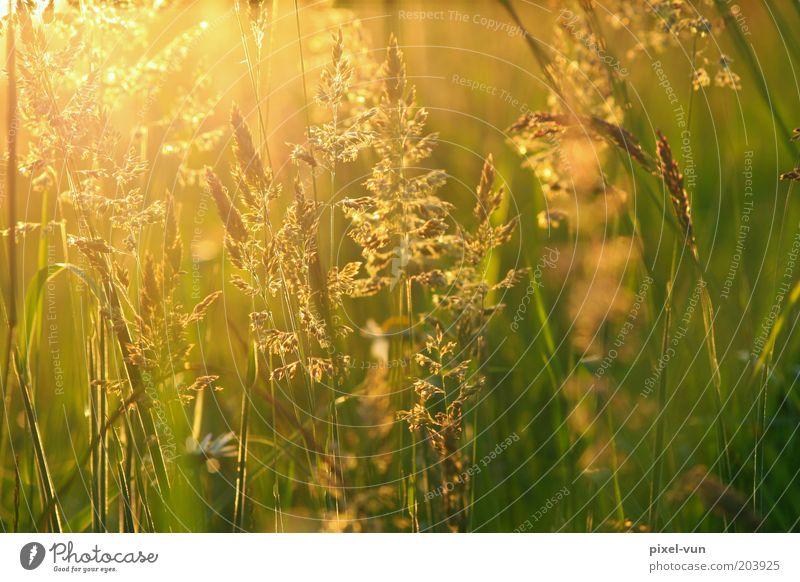 Wiesengold ruhig Erholung Leben Gefühle Gras Hoffnung Warmherzigkeit Frieden Schönes Wetter Halm Mai Gegenlicht Wildpflanze