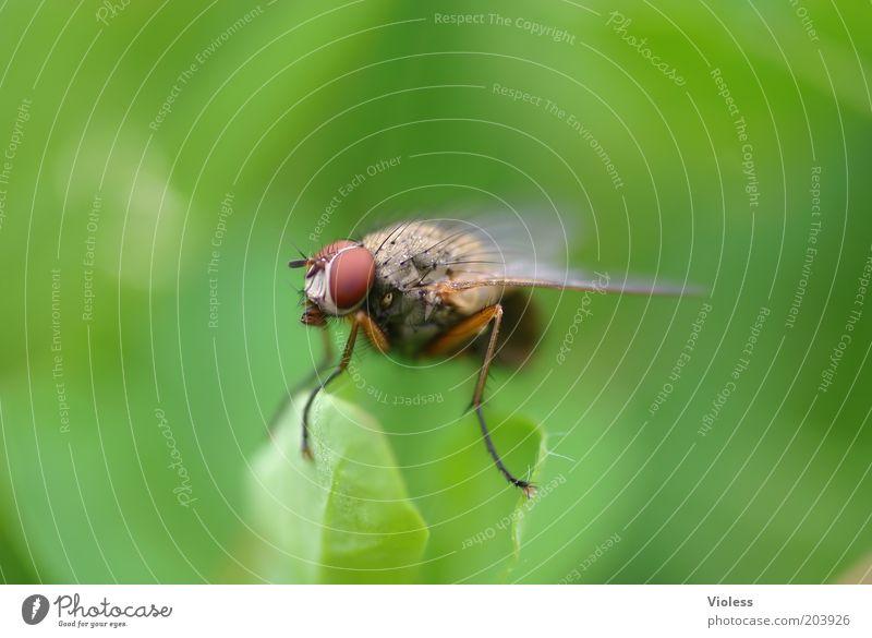 Ist da wer??? grün Tier Fliege Tiergesicht Flügel beobachten Konzepte & Themen Makroaufnahme Facettenauge