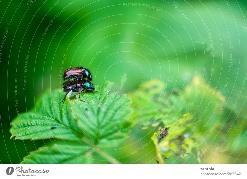 June Natur grün Pflanze Blatt Tier Gefühle klein braun Zusammensein Tierpaar nah berühren Lust Käfer krabbeln Begierde