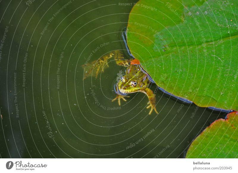 Der Froschkönig Natur Wasser grün Pflanze Tier Umwelt Luft Schwimmen & Baden Wildtier Seeufer Frosch Im Wasser treiben Teich Wasseroberfläche trüb Grünpflanze