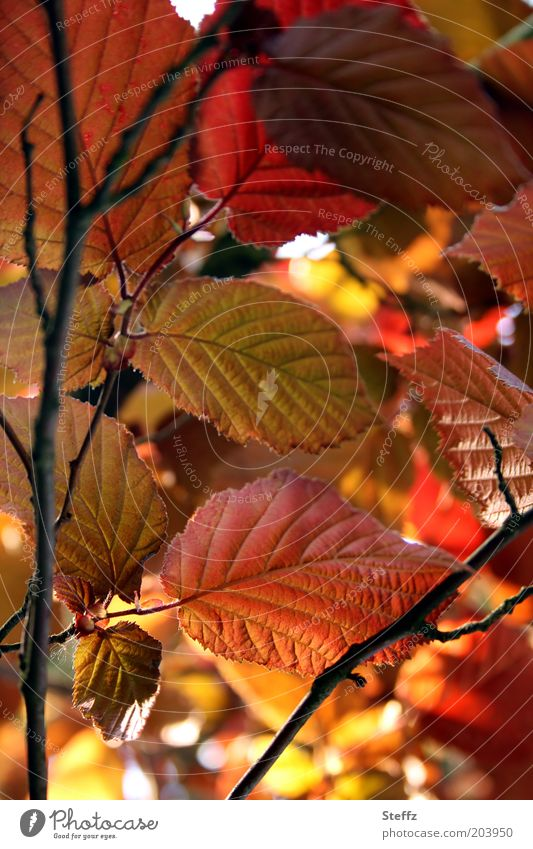 Blattwerk Haselnussblatt Hasselnussblätter rotbraun herbstlich Gegenlicht Herbstfärbung Warme Farbe Zweig Herbstbeginn Bluthasel Blattadern Blattfaser