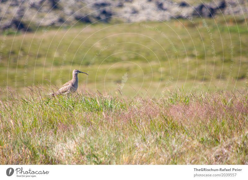 Vogel Tier 1 braun grün Lebewesen Blick nach vorn Gras Stein Weide Schnabel stehen Farbfoto Außenaufnahme Menschenleer Textfreiraum oben Textfreiraum unten Tag