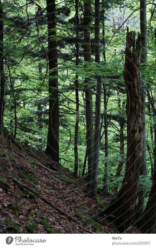 Forêt-Noire Umwelt Natur Landschaft Pflanze Baum Wald Mischwald Schwarzwald Farbfoto Außenaufnahme Menschenleer Baumstamm Totholz Tod Baumstumpf Neigung