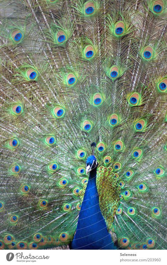 mit Argusaugen Tier Tiergesicht Zoo Pfau Feder Brunft schön ästhetisch Vogel Farbfoto Außenaufnahme Menschenleer Tag Licht Tierporträt Blick nach vorn gefiedert