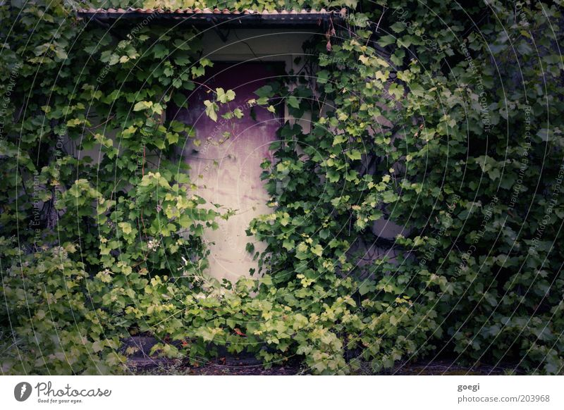 hidden Pflanze Efeu Grünpflanze Wildpflanze Wilder Wein Mauer Wand Fassade Tür Vordach Eingang Eingangstür Tor Portal Wachstum alt Verfall Vergänglichkeit Natur