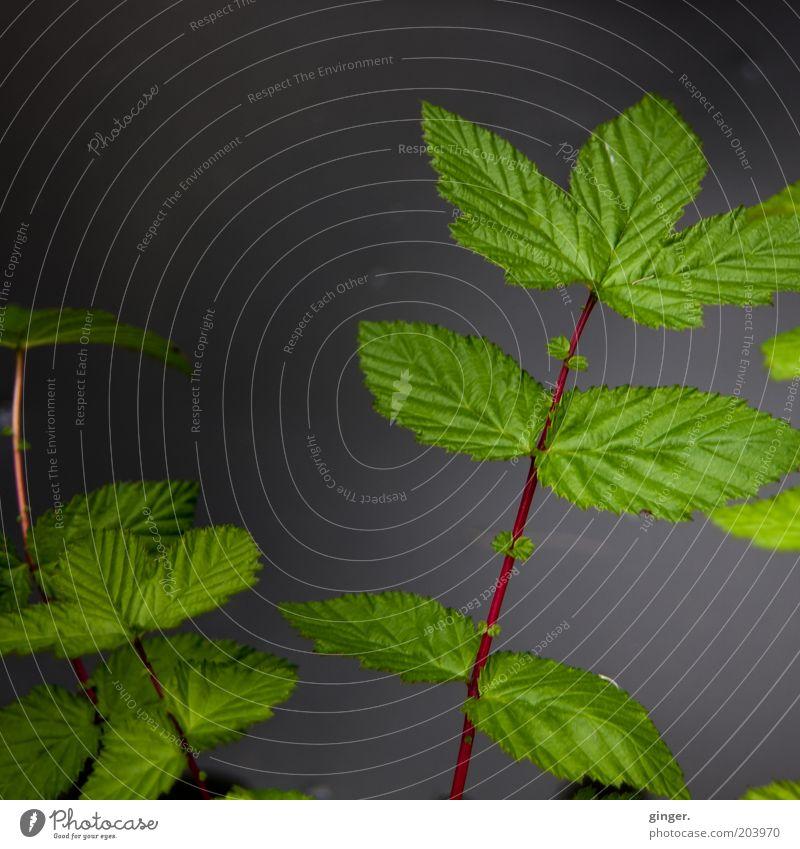 Ein dunkles Bild für john und mich Natur Pflanze Blatt Grünpflanze dunkel grau grün rot Stimmung Symmetrie Gegenteil Stengel Blattgrün saftig Zweige u. Äste