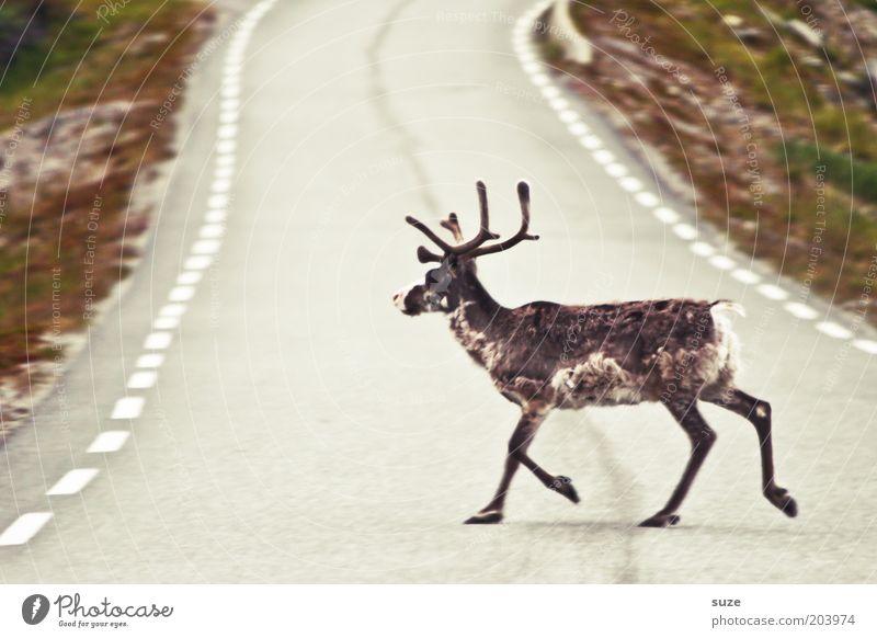 Laufbursche Natur Ferien & Urlaub & Reisen Landschaft Tier Umwelt Straße laufen Wildtier Tourismus authentisch einzeln Ausflug Nutztier Norwegen Skandinavien