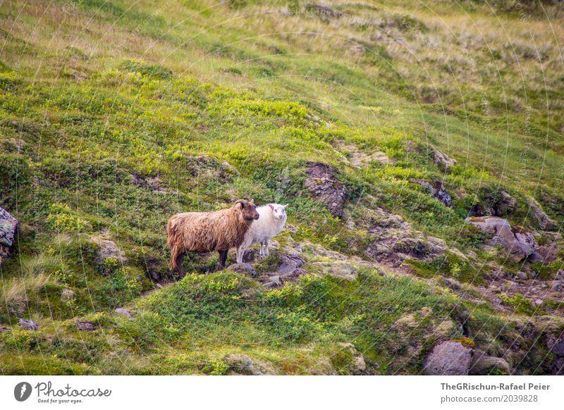 Island-Schaf Tier Nutztier 2 braun grau grün weiß Lebewesen Haare & Frisuren Fell Weide Hügel Stein Gras Freundschaft Farbfoto Außenaufnahme Menschenleer Tag