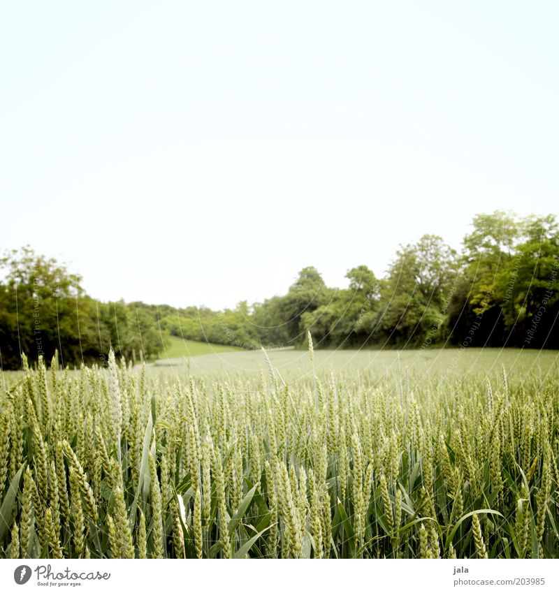 feld Natur Himmel Baum grün blau Pflanze Sommer Landschaft Feld Wachstum Sträucher Ackerbau Kornfeld Weizen Ähren Grünpflanze
