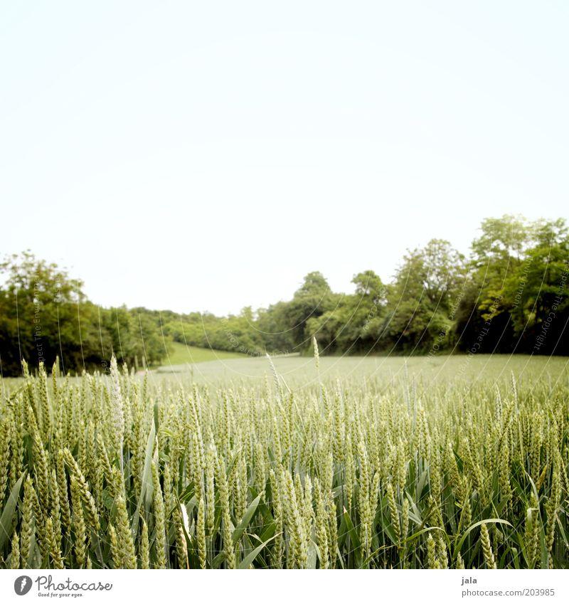 feld Natur Landschaft Himmel Sommer Pflanze Baum Sträucher Grünpflanze Nutzpflanze Feld Ackerbau Wachstum blau grün Weizen Farbfoto Außenaufnahme Menschenleer