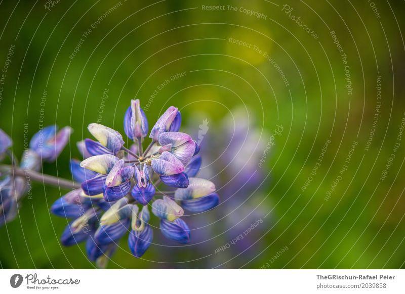 Blume Natur Pflanze blau grün Umwelt ästhetisch Blühend violett Tiefenschärfe Botanik