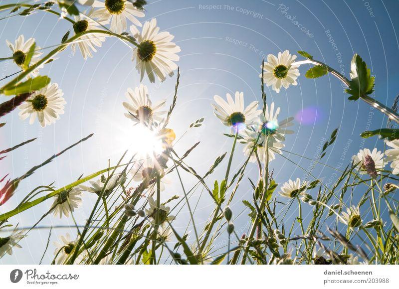 neulich in der Blumenwiese Umwelt Natur Pflanze Himmel Wolkenloser Himmel Klima Wetter Schönes Wetter Blüte Fröhlichkeit frisch hell blau weiß Margerite Licht