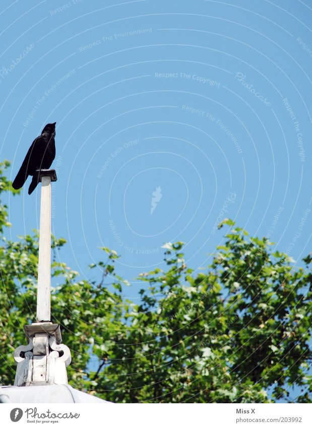 Londoner Krähe Tier Vogel Aussicht Turm beobachten Wildtier Gebäude Gezwitscher Turmspitze