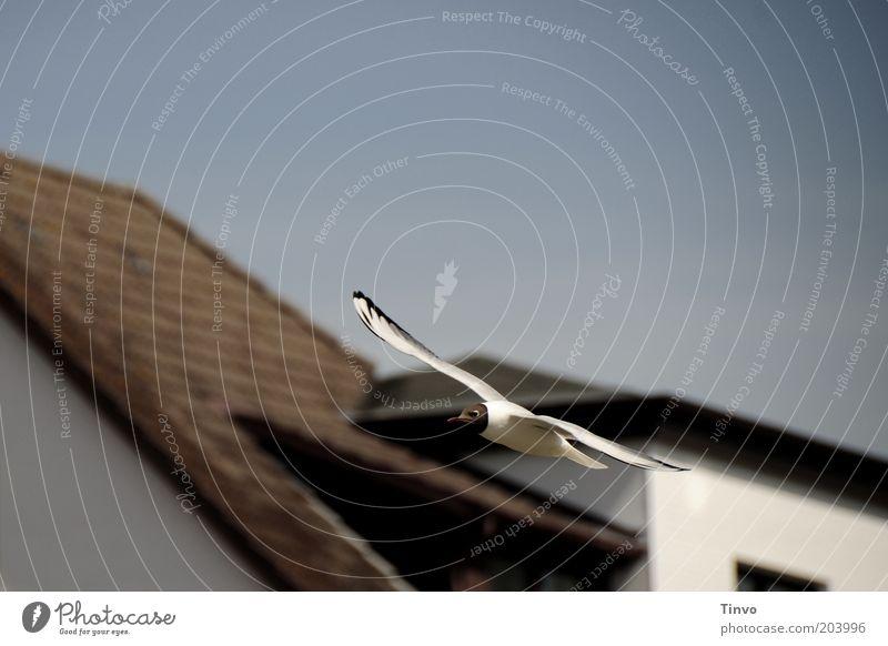 Über den Dächern von Büsum Wolkenloser Himmel Schönes Wetter Tier Wildtier Vogel 1 fliegen ästhetisch frei elegant Freiheit Schweben gleiten Möwe Lachmöwe
