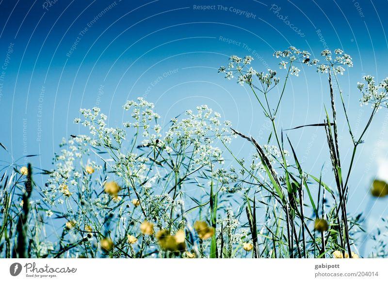 noch mehr Blumenwiese Umwelt Natur Landschaft Pflanze Himmel Wolkenloser Himmel Frühling Sommer Klima Wetter Schönes Wetter Gras Blüte Grünpflanze Nutzpflanze