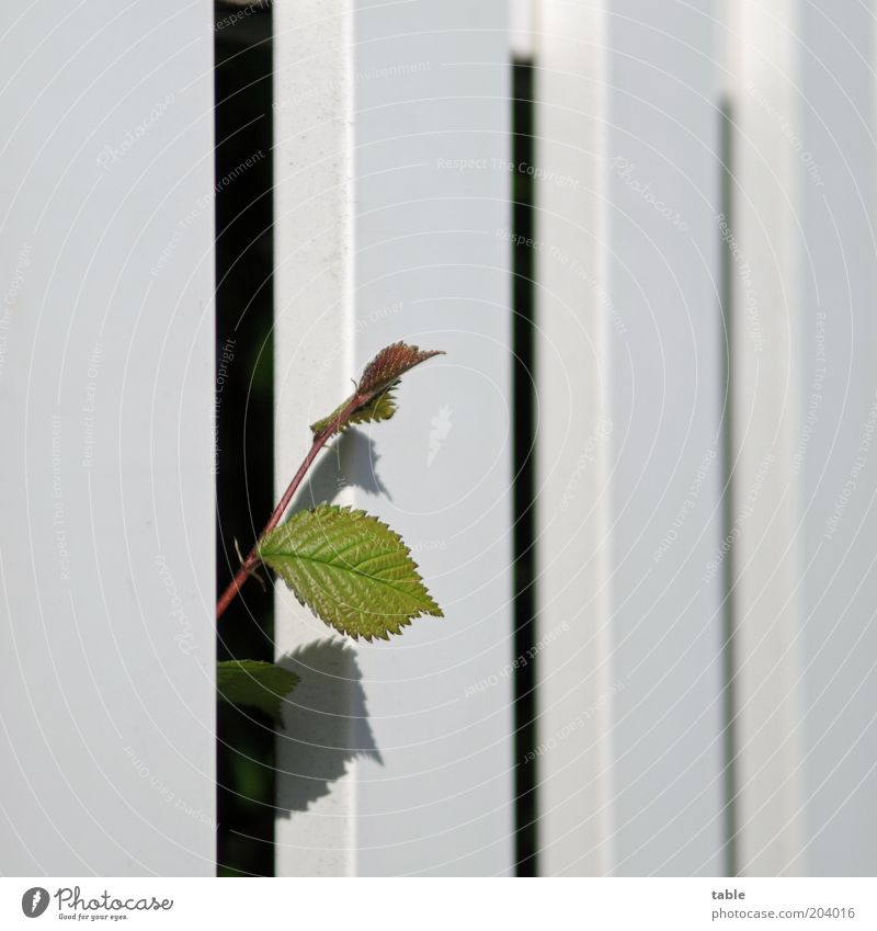 Expansionsdrang Natur grün weiß Pflanze Sommer Blume Blatt schwarz Holz Frühling Kraft Wachstum Neugier Sehnsucht Zaun anstrengen