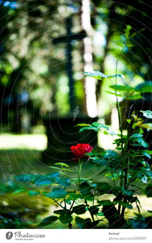 Rose Skulptur Christliches Kreuz Grab Grabmal Umwelt Natur Pflanze Sonne Sonnenlicht Sommer Klima Wärme Blume Blatt Blüte Grünpflanze Wildpflanze Garten Park