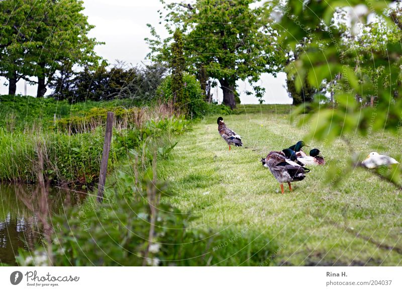 Siesta auf der Wiese Natur ruhig Erholung Landschaft Garten Vogel Zufriedenheit authentisch Tiergruppe Reinigen Ente Nutztier friedlich Federvieh freilebend