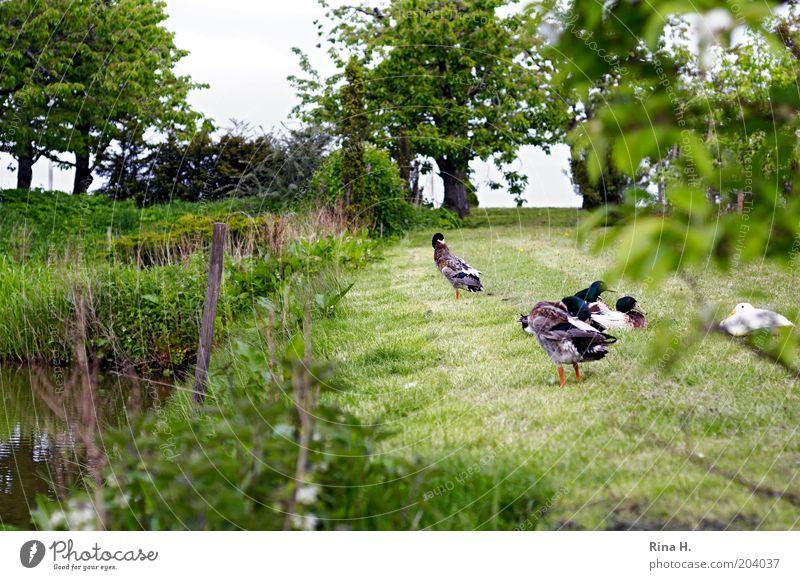 Siesta auf der Wiese Natur ruhig Erholung Landschaft Garten Vogel Zufriedenheit authentisch Tiergruppe Reinigen Ente Nutztier friedlich Federvieh freilebend Tier