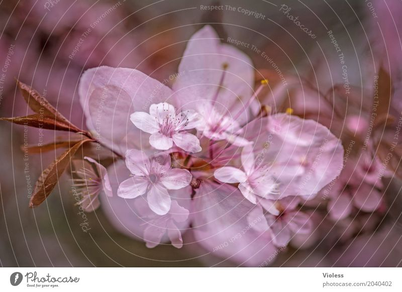am Anfang ...... schön Frühling Baum Blüte Kirschblüten Zierkirsche Rosengarten rosa weiß Vergänglichkeit Beginn Japan Japanisch Sherry Farbfoto Außenaufnahme