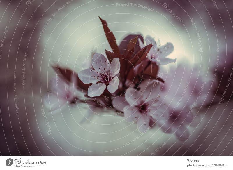 frühlingserwachen schön Frühling Baum Blüte Kirschblüten Zierkirsche Rosengarten rosa weiß Vergänglichkeit Beginn Japan Japanisch Sherry Außenaufnahme