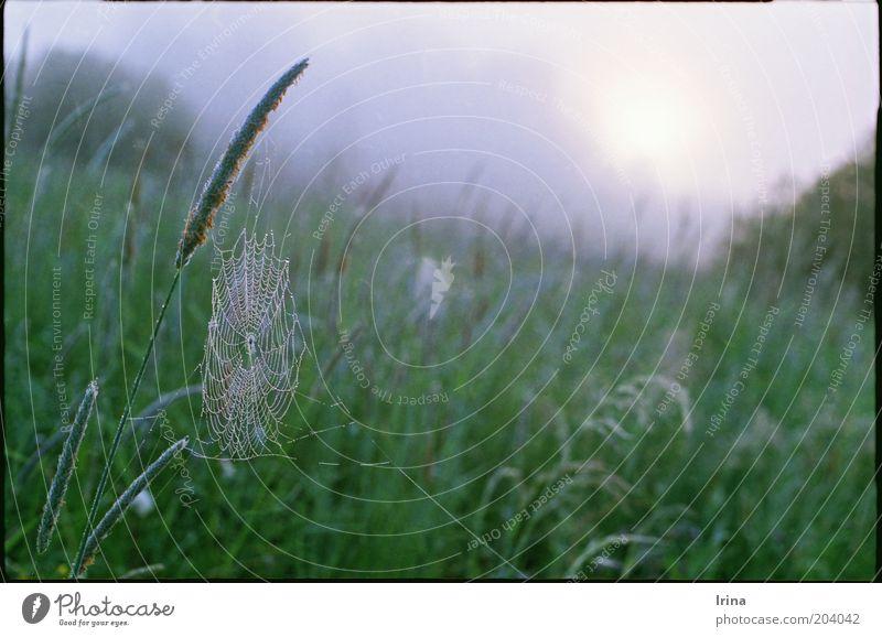 Taumel Wassertropfen Gras Wiese Spinnennetz grün ruhig Halm unberührt urwüchsig Außenaufnahme Morgendämmerung Schwache Tiefenschärfe Menschenleer