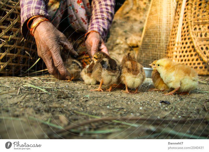 Hühnerhof III Weiblicher Senior Frau Finger 1 Mensch Tier Haustier Flügel Tiergruppe Tierjunges Arbeit & Erwerbstätigkeit alt Zusammensein braun gold violett