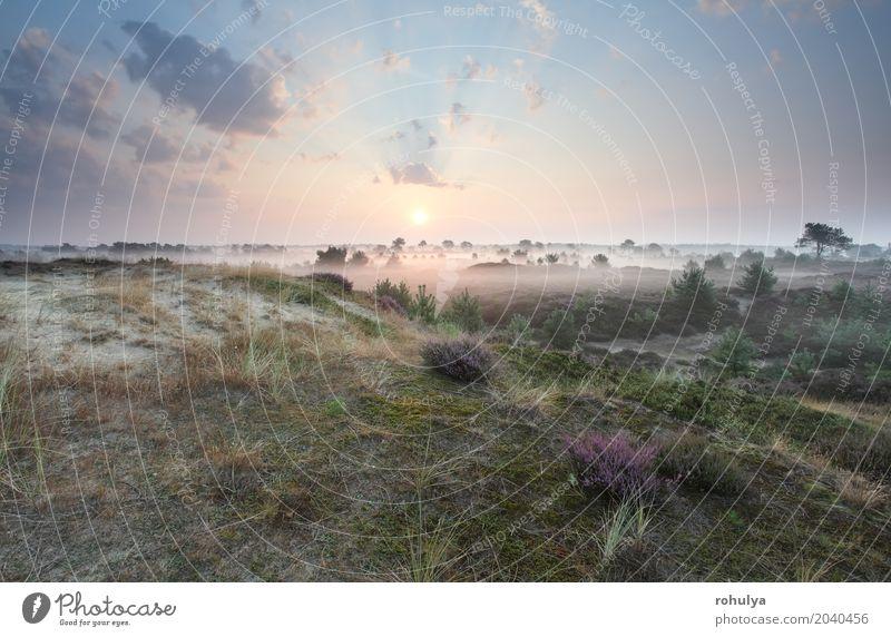 schöner nebelhafter Sonnenaufgang im Sommer, Drenthe, die Niederlande Himmel Natur Baum Landschaft Blume Wolken Blüte Sand rosa Horizont Nebel Aussicht Hügel