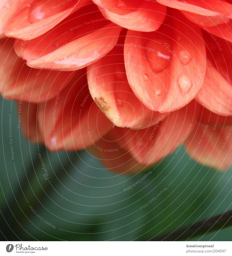 tropfen Natur grün rot Pflanze Sommer Blume Farbe Stil Frühling nass Wassertropfen Tropfen feucht Tau Blütenblatt