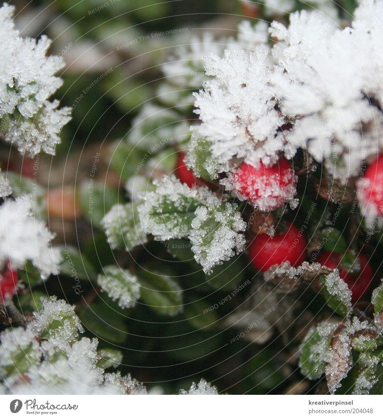 kalt Natur Winter Eis Frost Schnee Pflanze Blatt Grünpflanze weiß grün rot Eiskristall Detailaufnahme mehrfarbig Außenaufnahme Nahaufnahme Tag Unschärfe Beeren