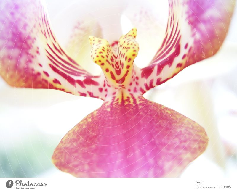 Orchidee Blume Pflanze gelb Blüte rosa