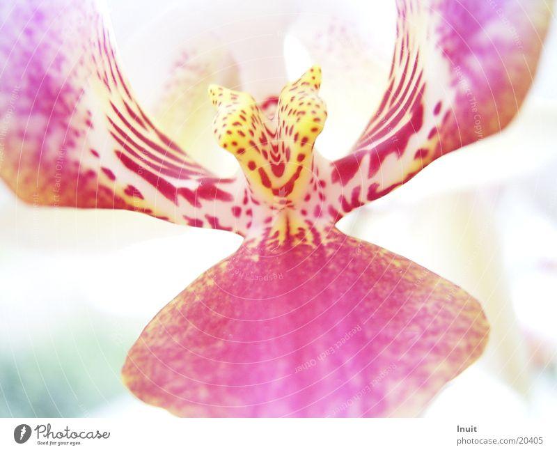 Orchidee Pflanze Blume Blüte rosa gelb Nahaufnahme