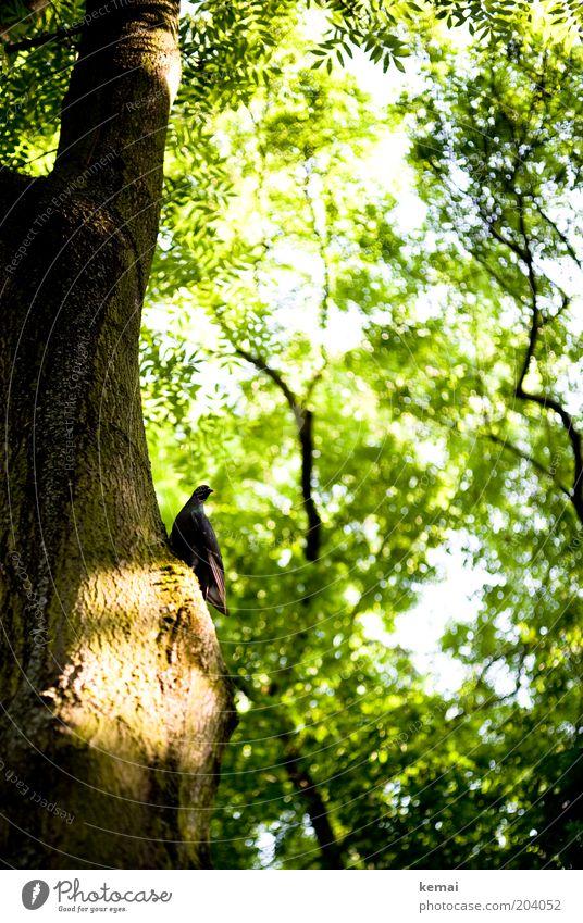 Fried(en)hofs-Taube Umwelt Natur Pflanze Sonnenlicht Sommer Klima Schönes Wetter Wärme Baum Blatt Grünpflanze Wildpflanze Garten Tier Vogel 1 leuchten sitzen