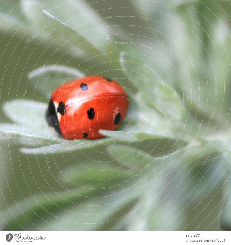 viel Glück Natur Pflanze Tier Blatt ruhig Umwelt grau orange Symbole & Metaphern Insekt positiv Geborgenheit Käfer Marienkäfer Siebenpunkt-Marienkäfer