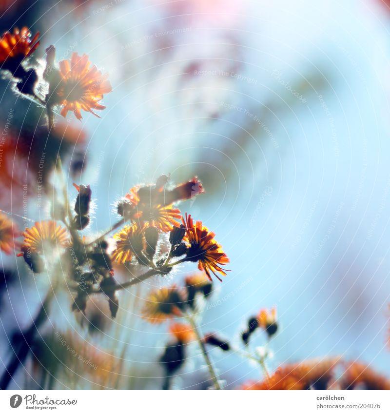 Blümchen orange Q Natur blau Pflanze Blume Sommer Umwelt Blüte Frühling zart Stengel Blütenstiel