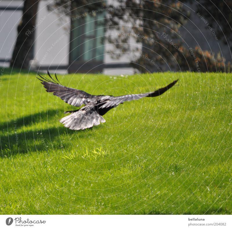 Landeanflug Umwelt Natur Landschaft Garten Park Wiese Tier Wildtier Vogel Flügel 1 Bewegung fliegen Rückansicht Schweben gleiten Luft Farbfoto mehrfarbig