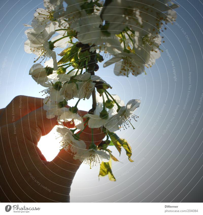 Die Hand eines Blumenmädchens? ruhig Pflanze Luft Himmel Sonnenlicht Frühling Sommer berühren grün weiß Gefühle Stimmung entdecken Blüte Farbfoto Außenaufnahme