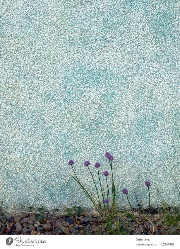 mauablömsche schön Blume Pflanze Sommer Farbe Leben Wand Mauer Fassade Wachstum Kitsch harmonisch Putz gedeihen Blütenstauden