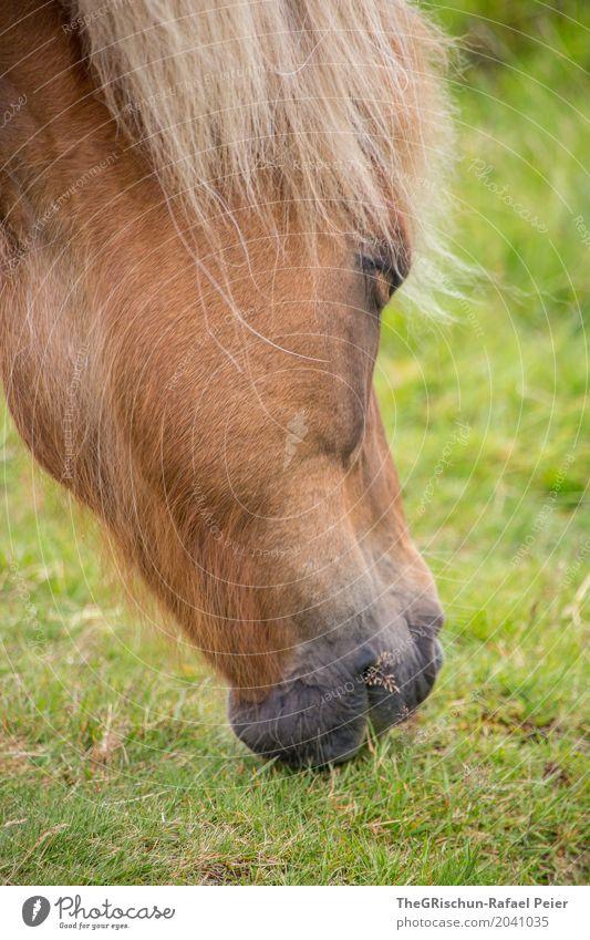Isländer Tier 1 braun grün Pferd Lebewesen Schnauze Fressen Speise Grasland Weide Mähne Porträt Farbfoto Außenaufnahme Detailaufnahme Menschenleer Tag