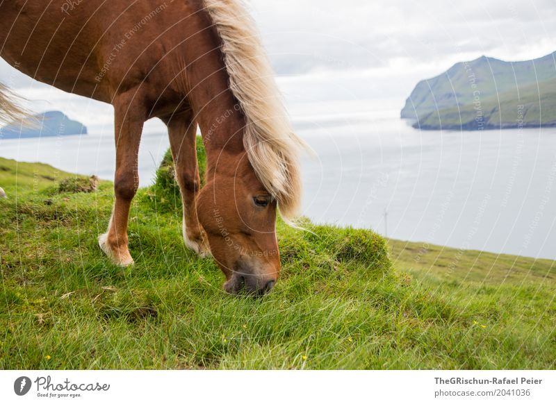 Isländer II Umwelt Natur Landschaft blau braun grau grün Weide Fressen Føroyar Insel Meer Ferne Pferd Gras Lebensmittel Berge u. Gebirge Mähne elegant Auge