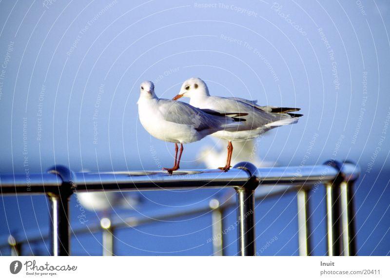 2 Möwen Meer Vogel Tierpaar Verkehr paarweise Geländer England Fernweh