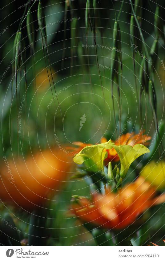 Jeder sollte mal ...... Umwelt Natur Pflanze Sommer Blume Blüte Blühend Duft hängen leuchten ästhetisch nah natürlich gelb grün Farbe orange Unschärfe Farbfoto